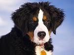 bernese-mountain-dog-67266_150